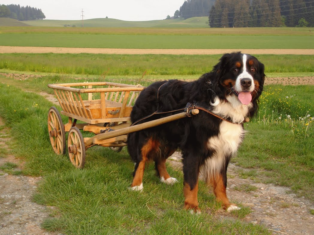 1000 images about bernese mountain dogs on pinterest bernese mountain dogs mountain dogs and. Black Bedroom Furniture Sets. Home Design Ideas