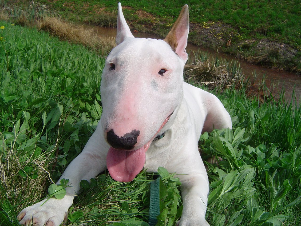 bull terrier picture bull terrier pictures of dogs and all about dog 9445