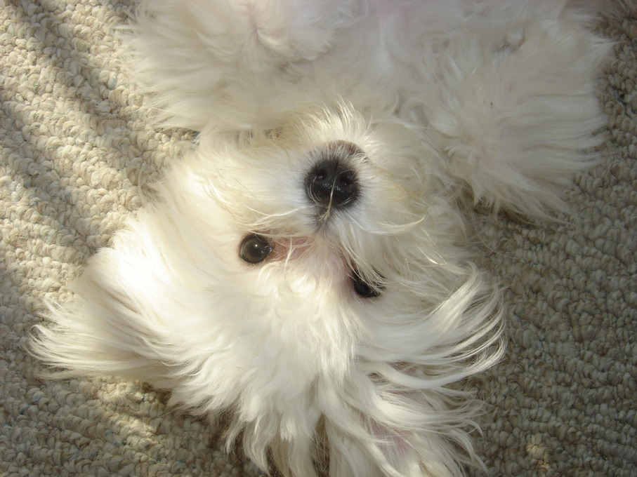 Maltese:Pictures of Dogs and All About Dog