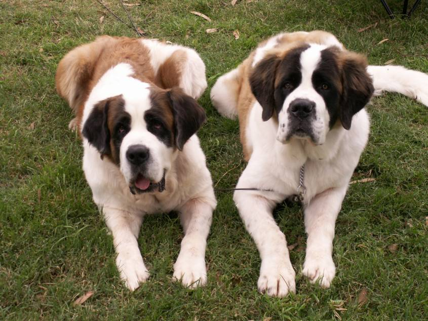 Saint Bernard:Pictures Of Dogs And All About Dog