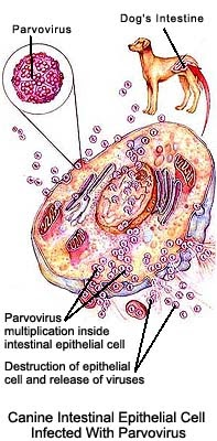 Parvo Virus Parvo Puppy And Dog Virus Pictures Of Dogs And All About Dog