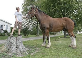 Kuda Terbesar di Dunia Bernama ON