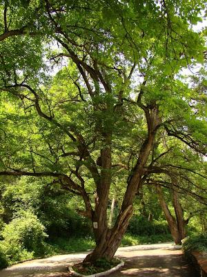 Вековно дърво над Земенския манастир