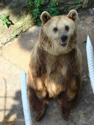 Любопитен мечо, Кафява мечка