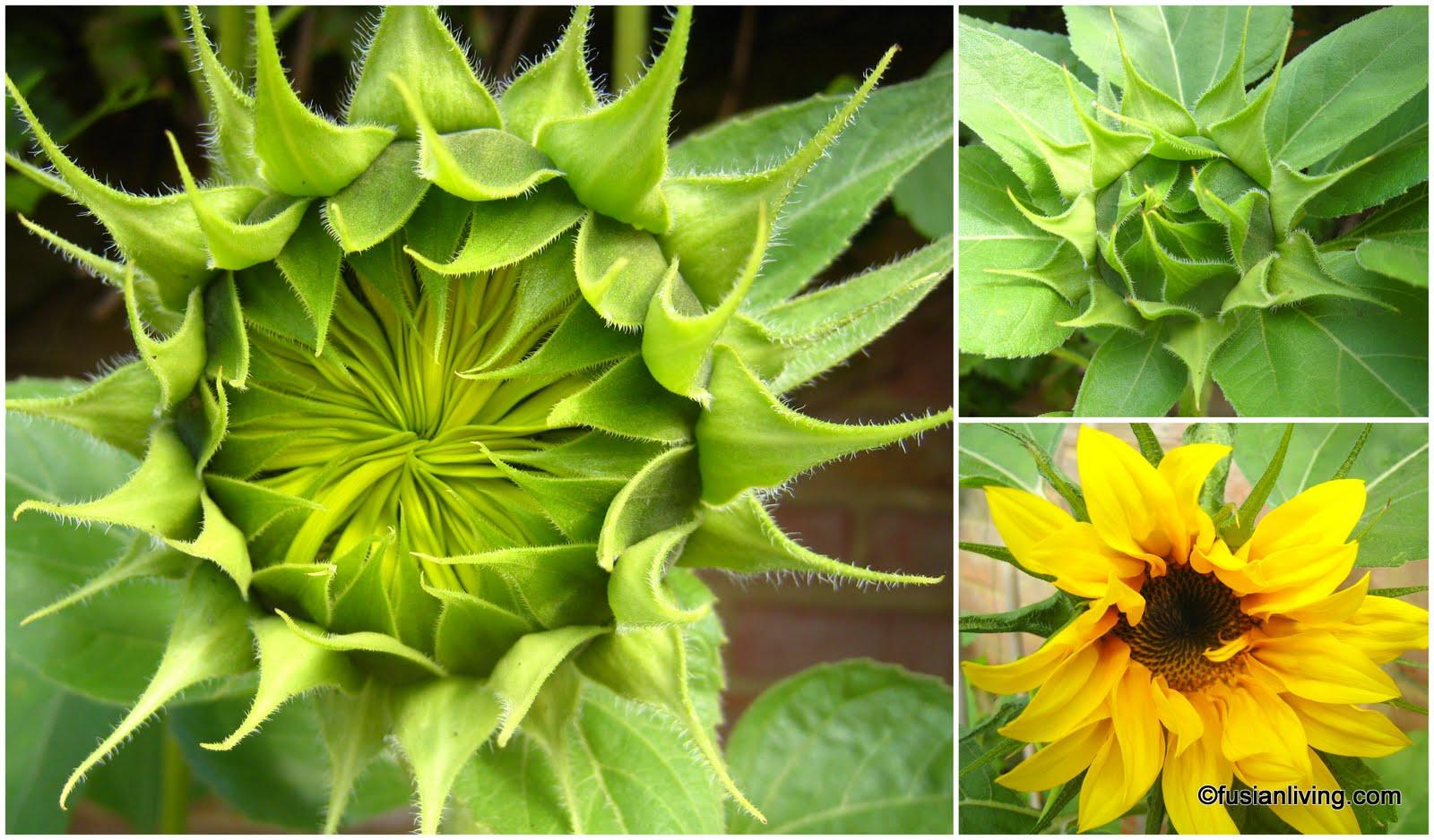 Children's literature | Sunshine Impressions  |Sunflower Bud