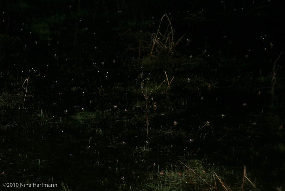 Wolf spider eyes glow - photo#47