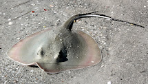 Southwest Florida Shoreline Studies Stingray