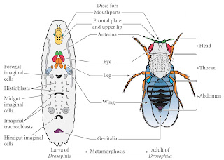 ;fruity fries(:: life cycle of a drosophila! labeled diagram of the nitrogen cycle descriptive diagram of drosophila life cycle