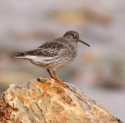 Purple Sandpiper near Cape Race, Newfoundland