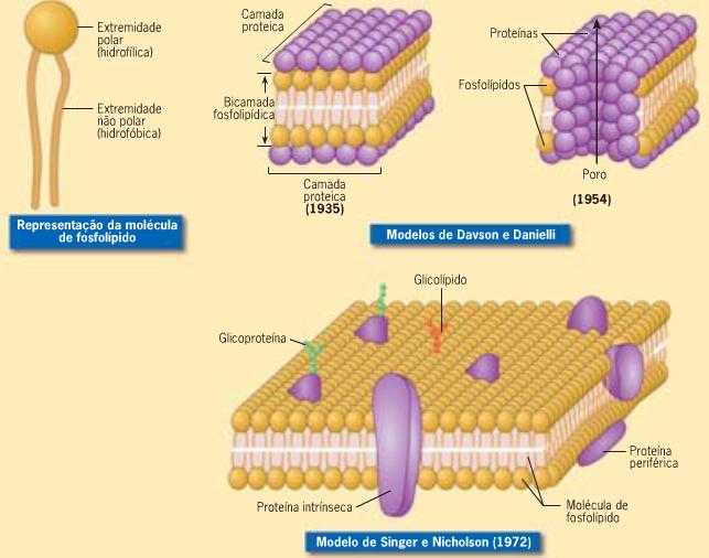 Membrana Plasmatica A Organización Molecular De La Membrana