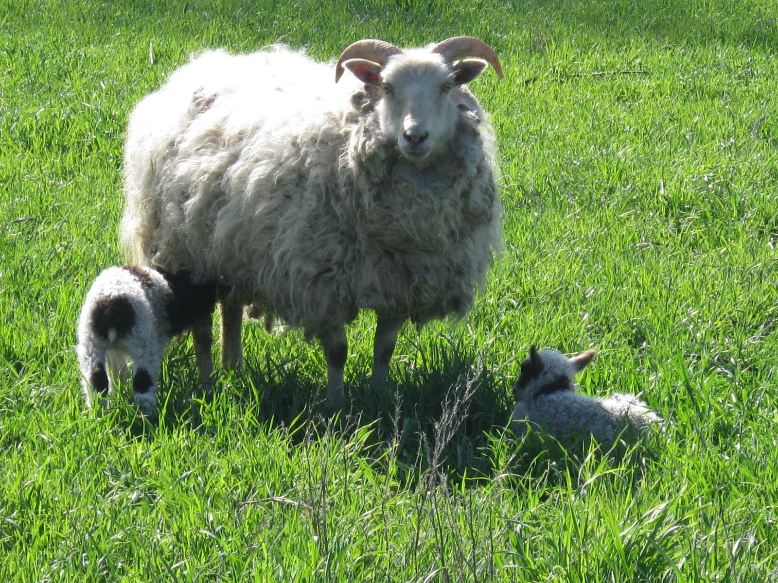 Grassstain Farm Icelandic Sheep