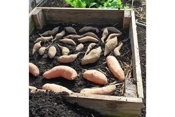Camp Pleasant Frankfort Kentucky Starting Sweet Potato Slips