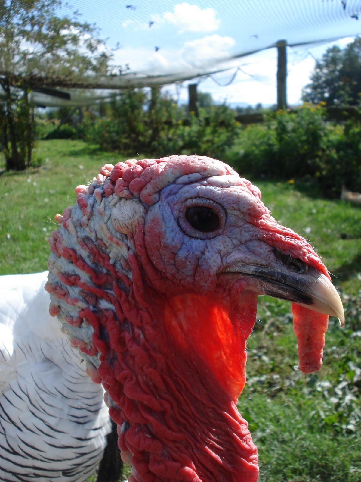 turkey wattle