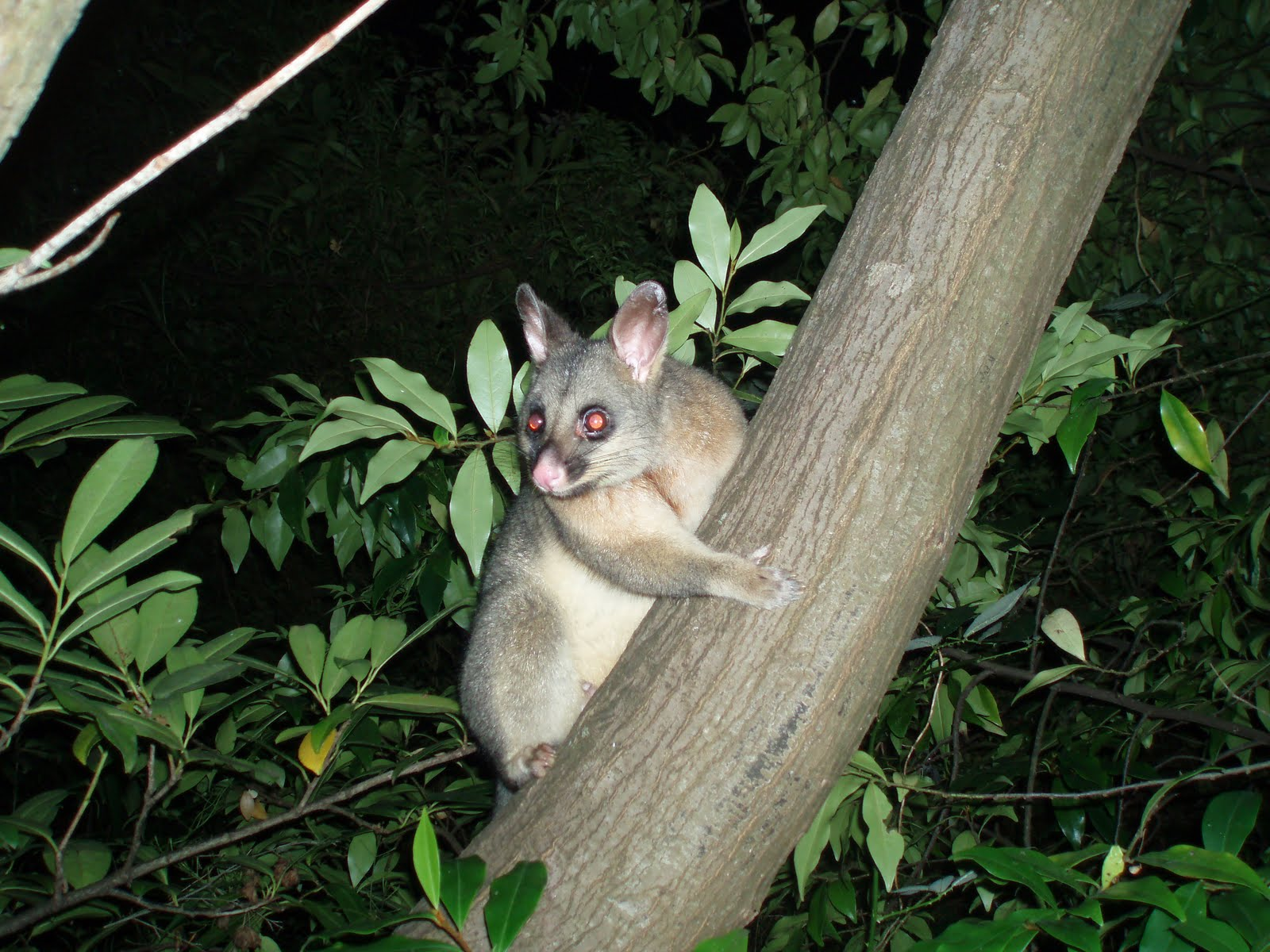 The Adventures of Batu Khan: There's a Possum in my Yard!