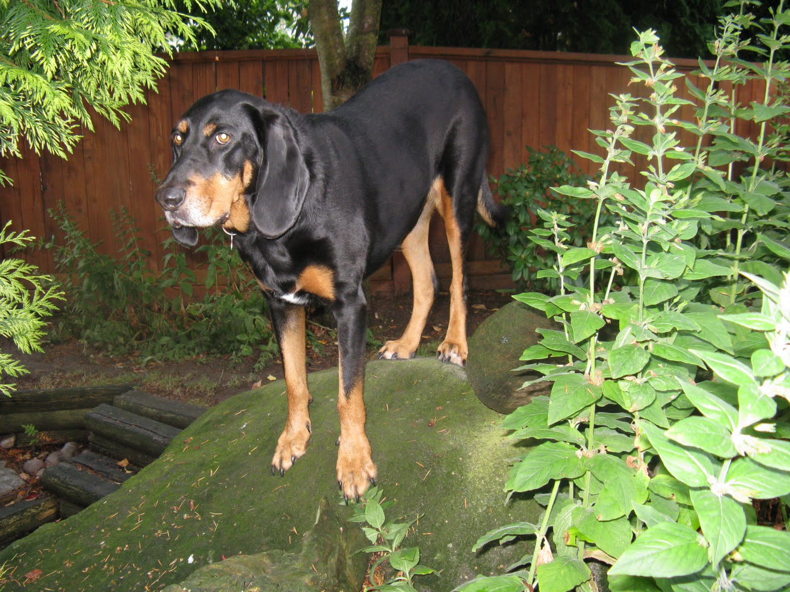 Black And Tan Coonhound Hunting Pictures to Pin on ...