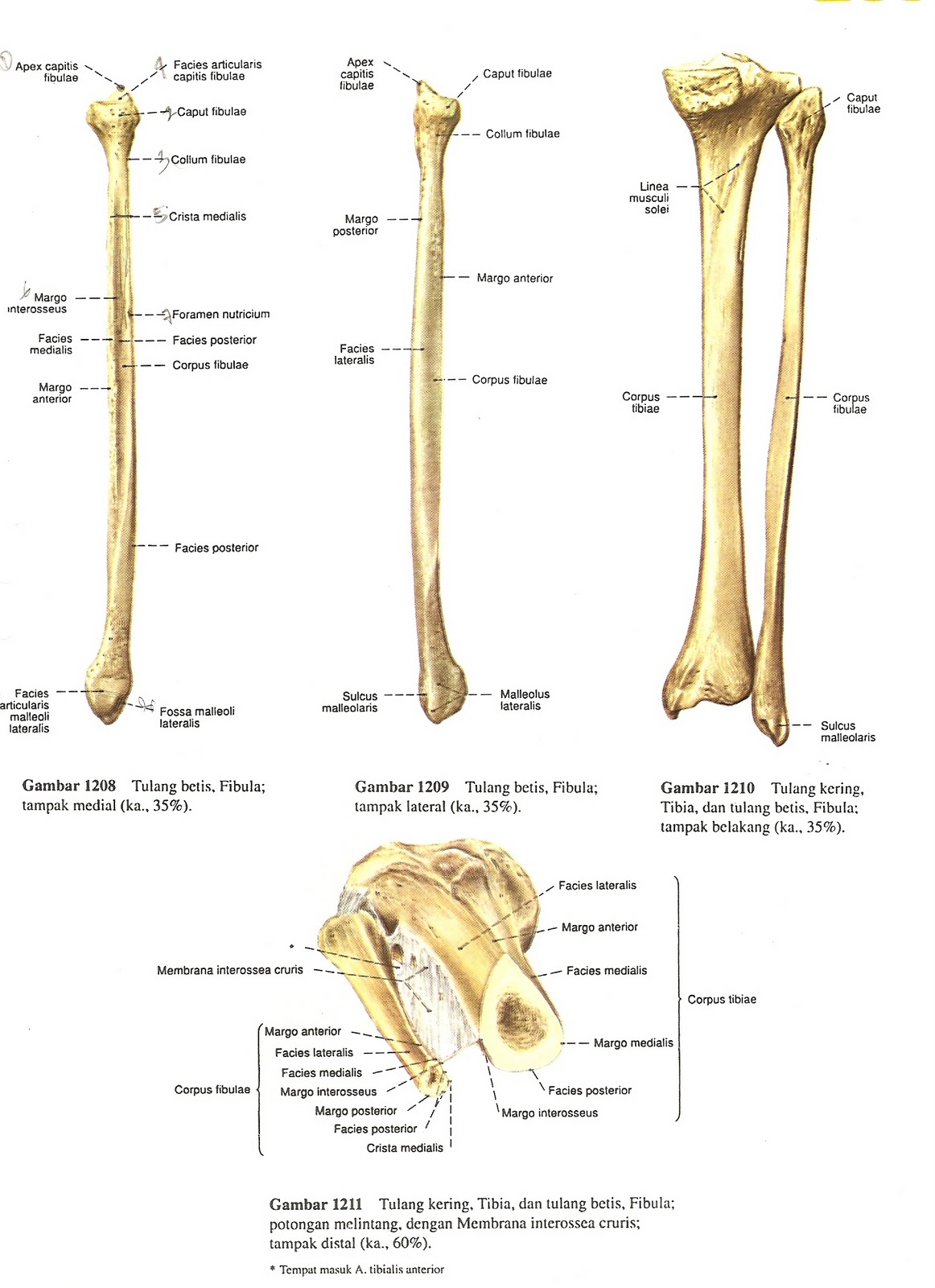 Syahid Anatomi