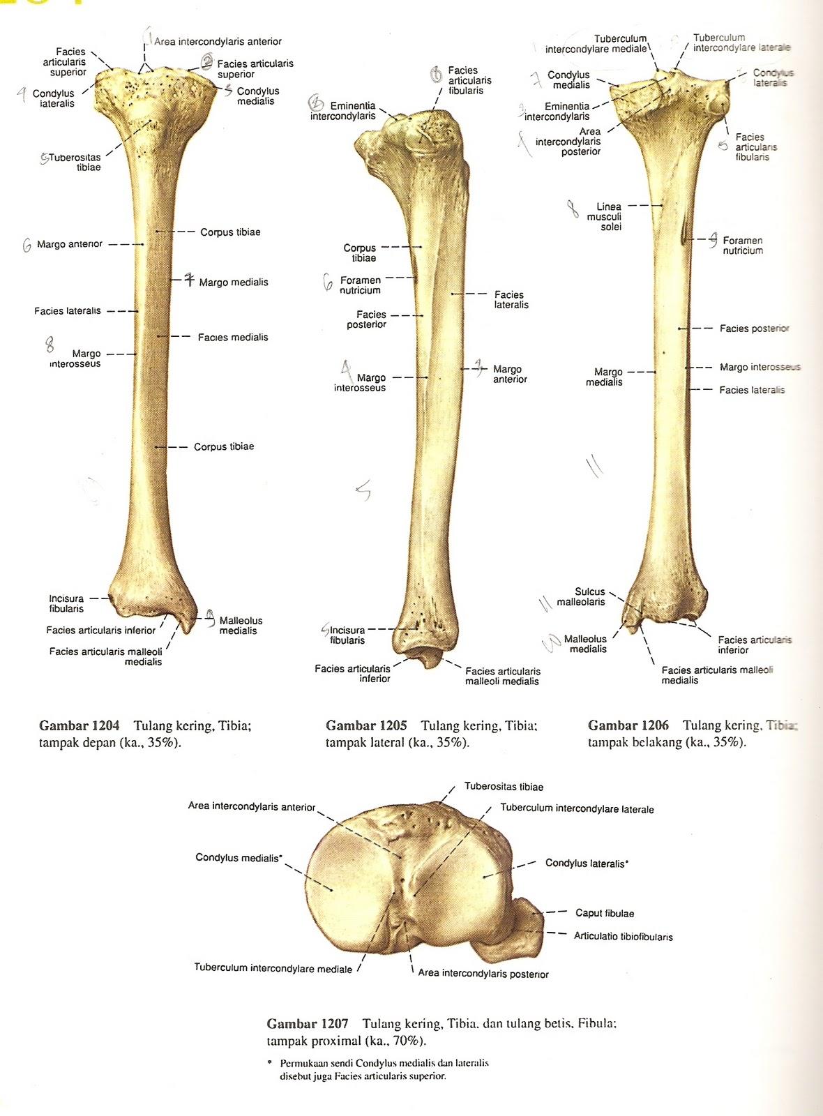 Anatomi Tulang Tibia