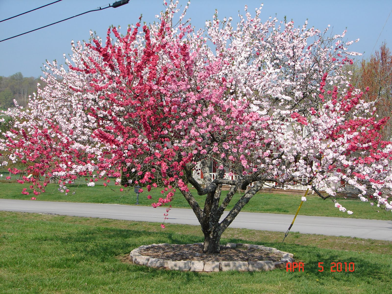 Winter Lawn Care Awesome Ornamental Peach What Grows There Hugh Conlon