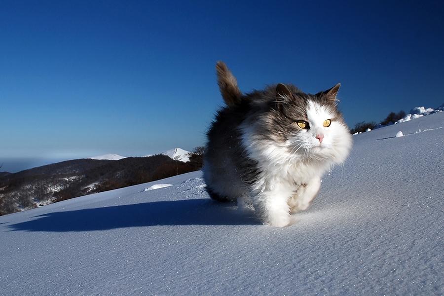 174a031e3ea1a O adorável gato das neves