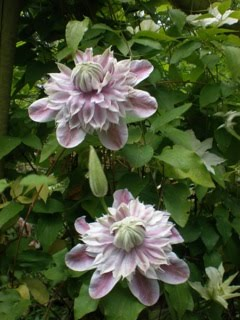 Falling in Love with 'Josephine' Clematis