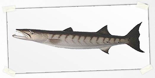 il Barracuda | Ricordi
