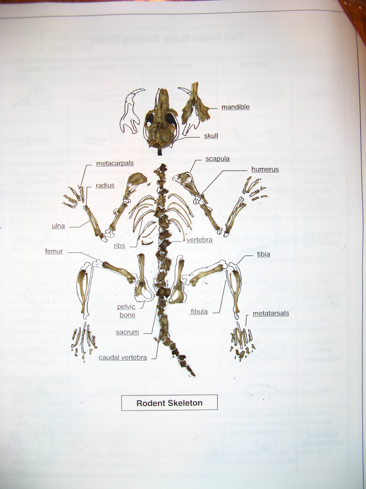 Shrew Skeleton Diagram Labeled Norcold Fridge Wiring Vole