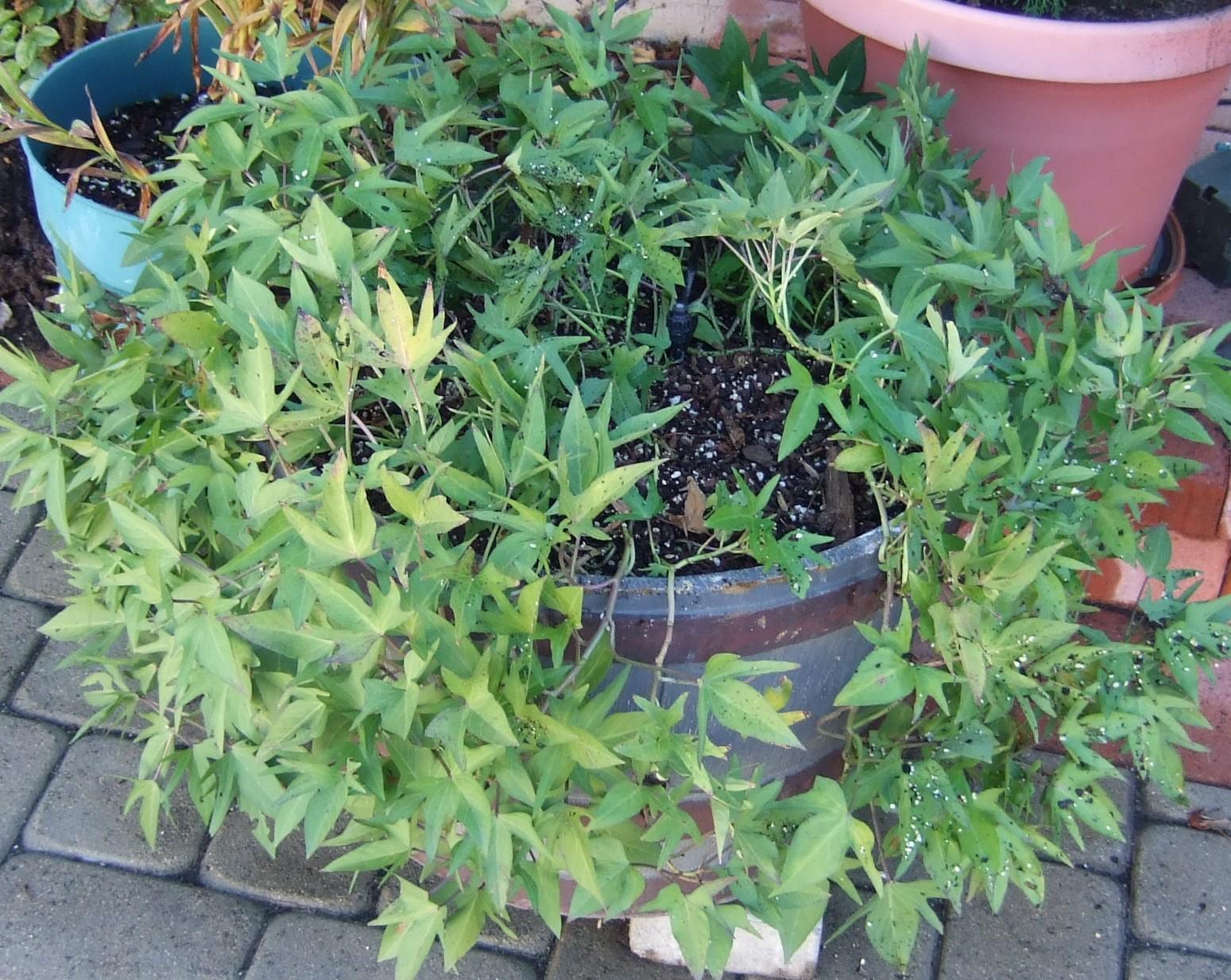 My Southern California Vegetable Garden Harvesting Okinawan Sweet Potatoes