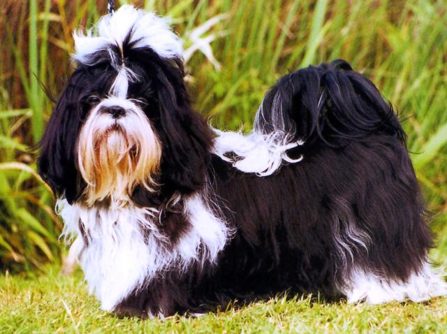 Blog De Perros Miniaturas El Shitzu Características De La Raza