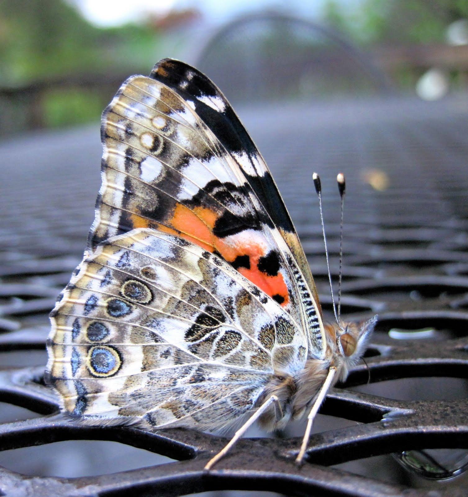 Mr Kindergarten Painted Lady Butterfly
