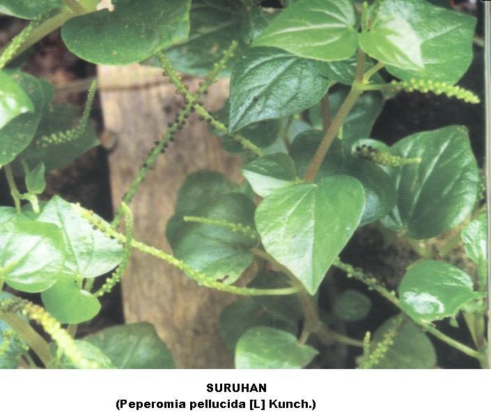 Indo-Nesian Tradisi-Onal (Medicine): Suruhan: Obat