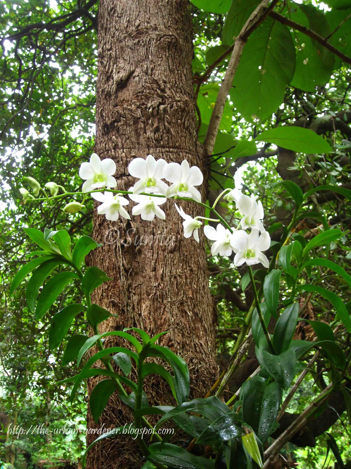 Article additionally Hydroponics In Kuwait besides Starting Another Dendrobium Nobile From in addition Watch likewise Rainbow Eucalyptus Resemble Colourful Works Art Shedding Bark. on growing orchids in bark