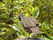 Mountain Quail, male