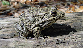 ALAPARC Gopher Frog Inititiative