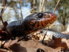 Indigo Snake Updates From the Field