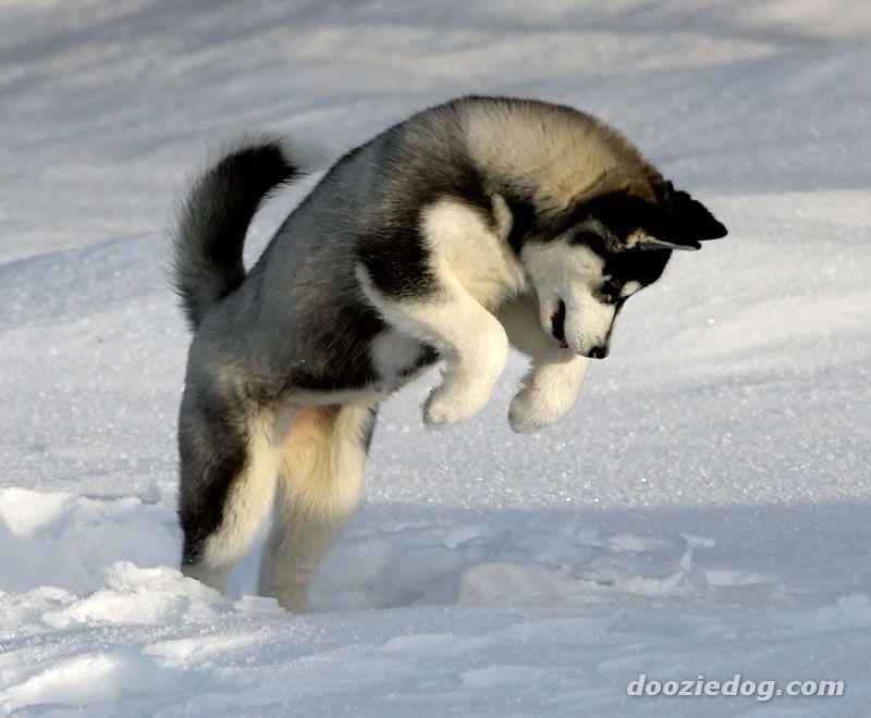 Dog Cute Dog: Characteristics of Siberian Huskies