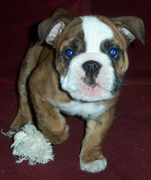 My English Bulldog: Boxer Bulldog