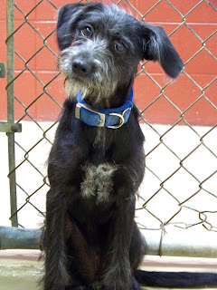 SATX Rescue: Female Wire Hair Terrier-Adopted!!