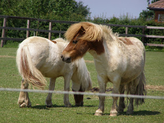 Two diminutive ponies