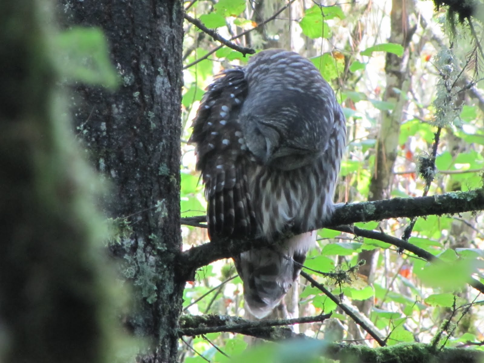 On the prowl with Oregon's pygmy owls — High Country News  Owls Portland Oregon