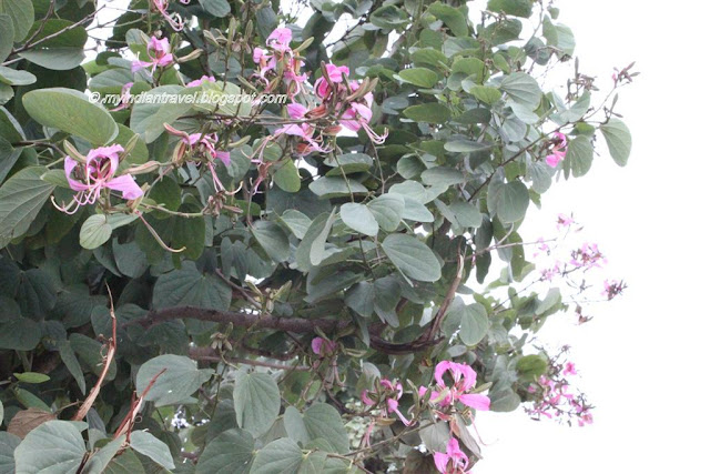 My India Travel Flowering Tree Bauhinia Variegata