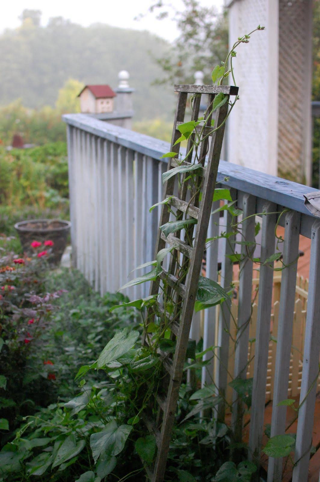 Pennsylvania Perennial Garden Morning GLory on Trellis Grandpa Ott