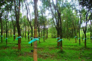 Kerala : God's Own Country: Rubber Plantations in Kerala