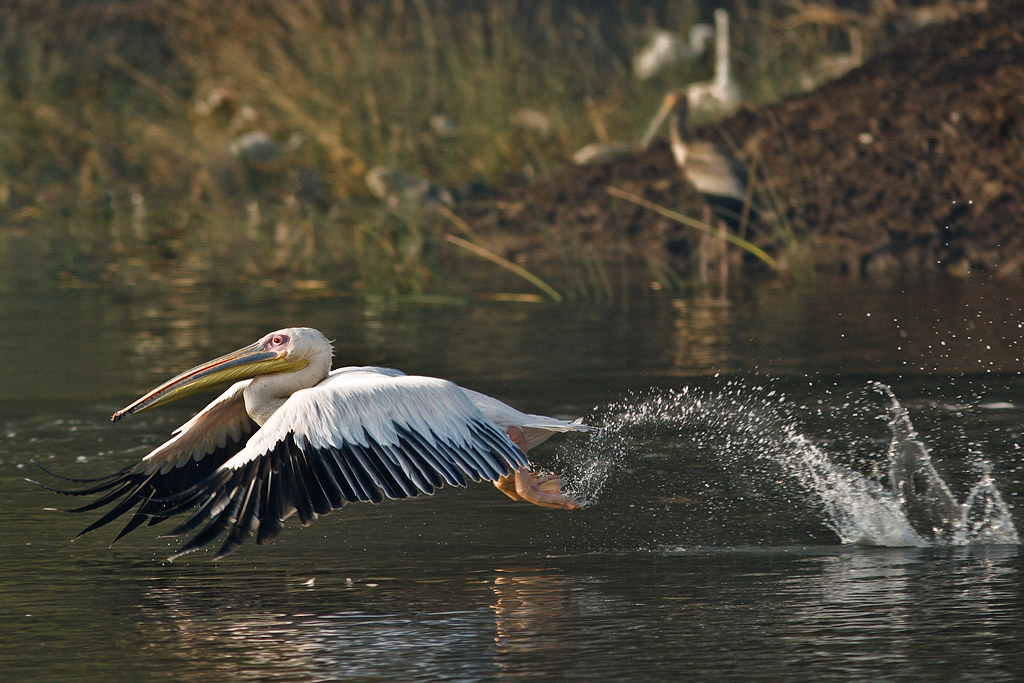 Great white pelican, Khijadiya, Gujarat