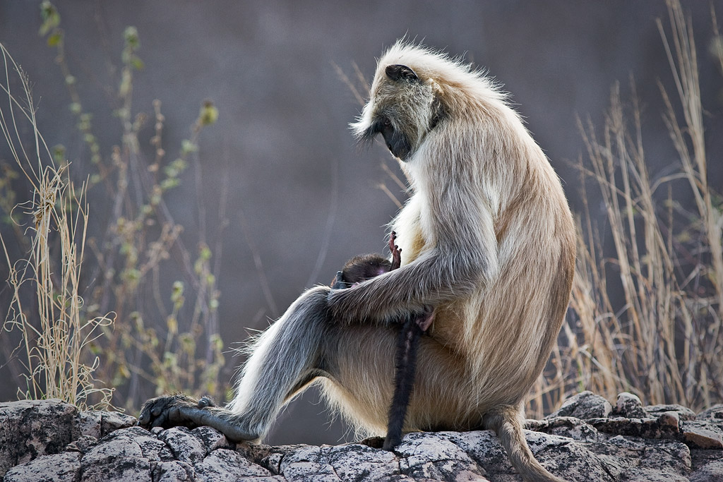 Langur and baby