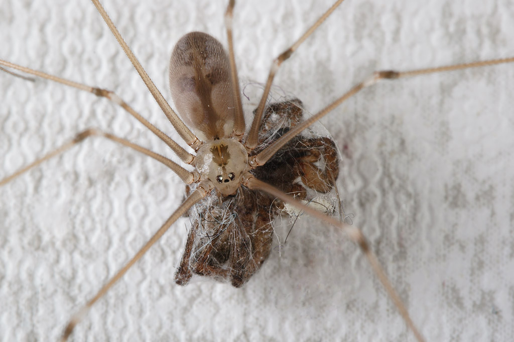 Pholcus eating spider