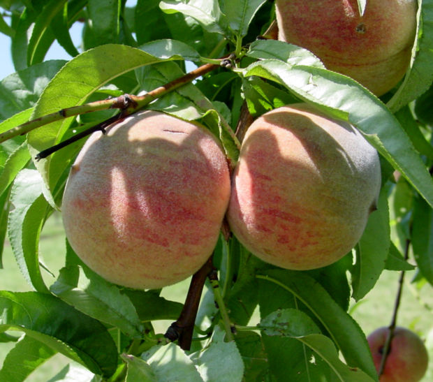 Hickery Holler Farm: Indian Blood Red Peaches