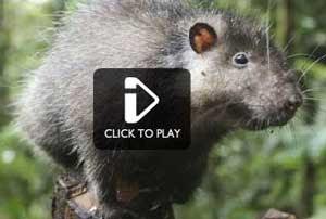 Ditemukan Spesies Baru Tikus Sepanjang Satu Meter di Papua Niugini