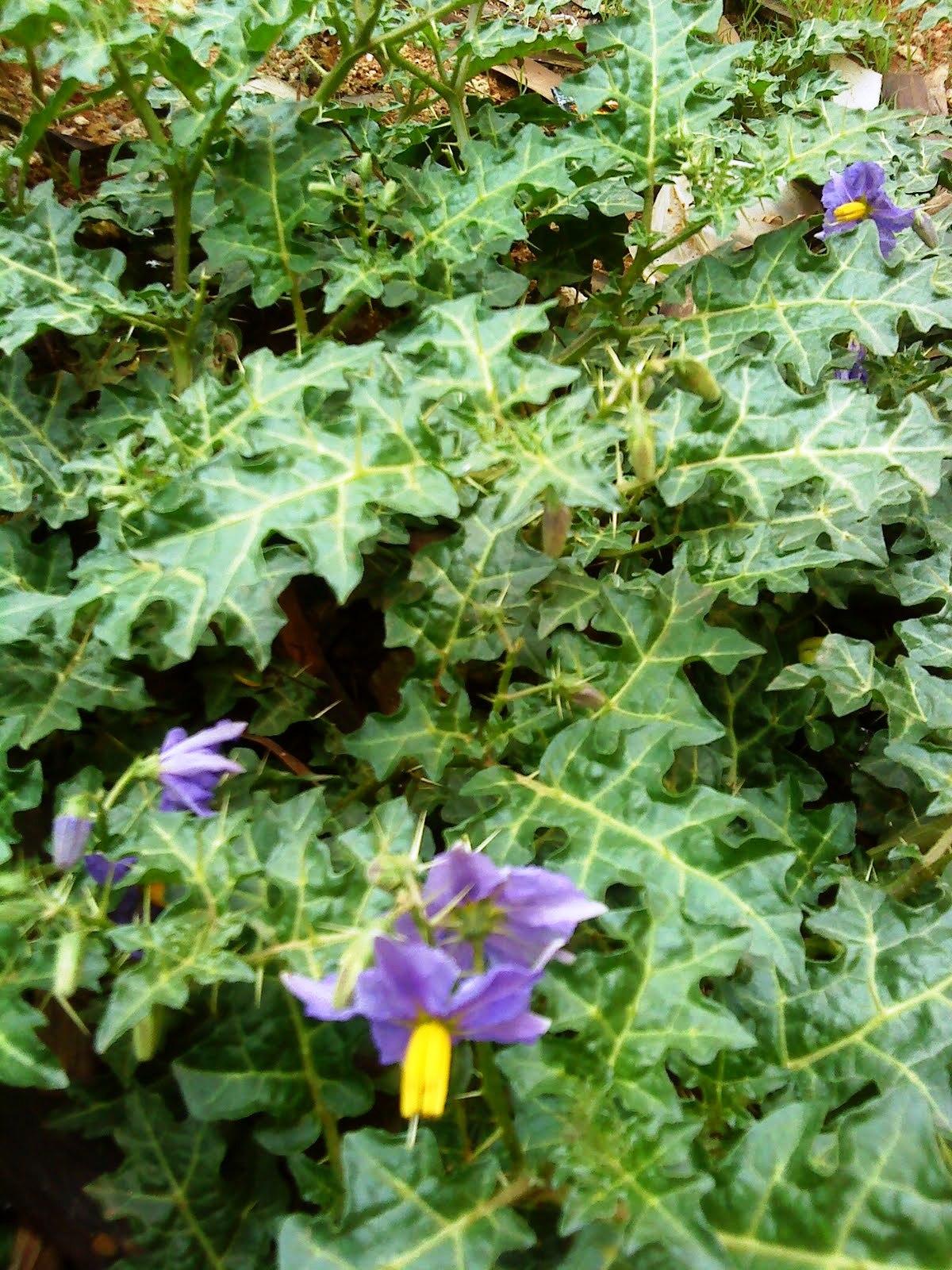 http://3.bp.blogspot.com/_bBqysXGhPys/TG1xO2OA0OI/AAAAAAAACGI/HMXo0EW7gJw/s1600/Solanum+virginianum1.JPG