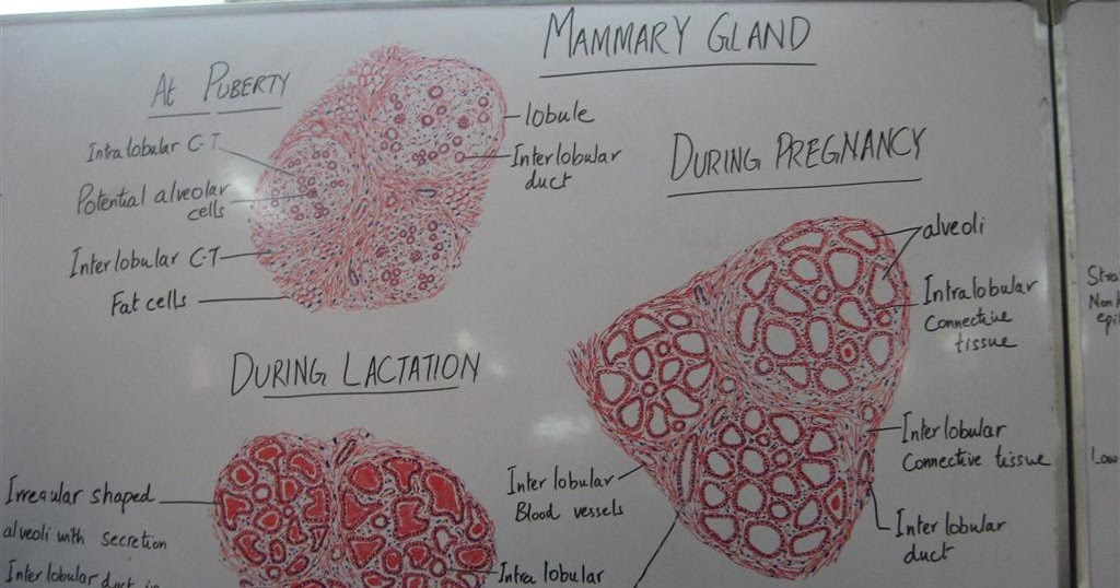 Histology Slides Database: histological diagram of mammary ...
