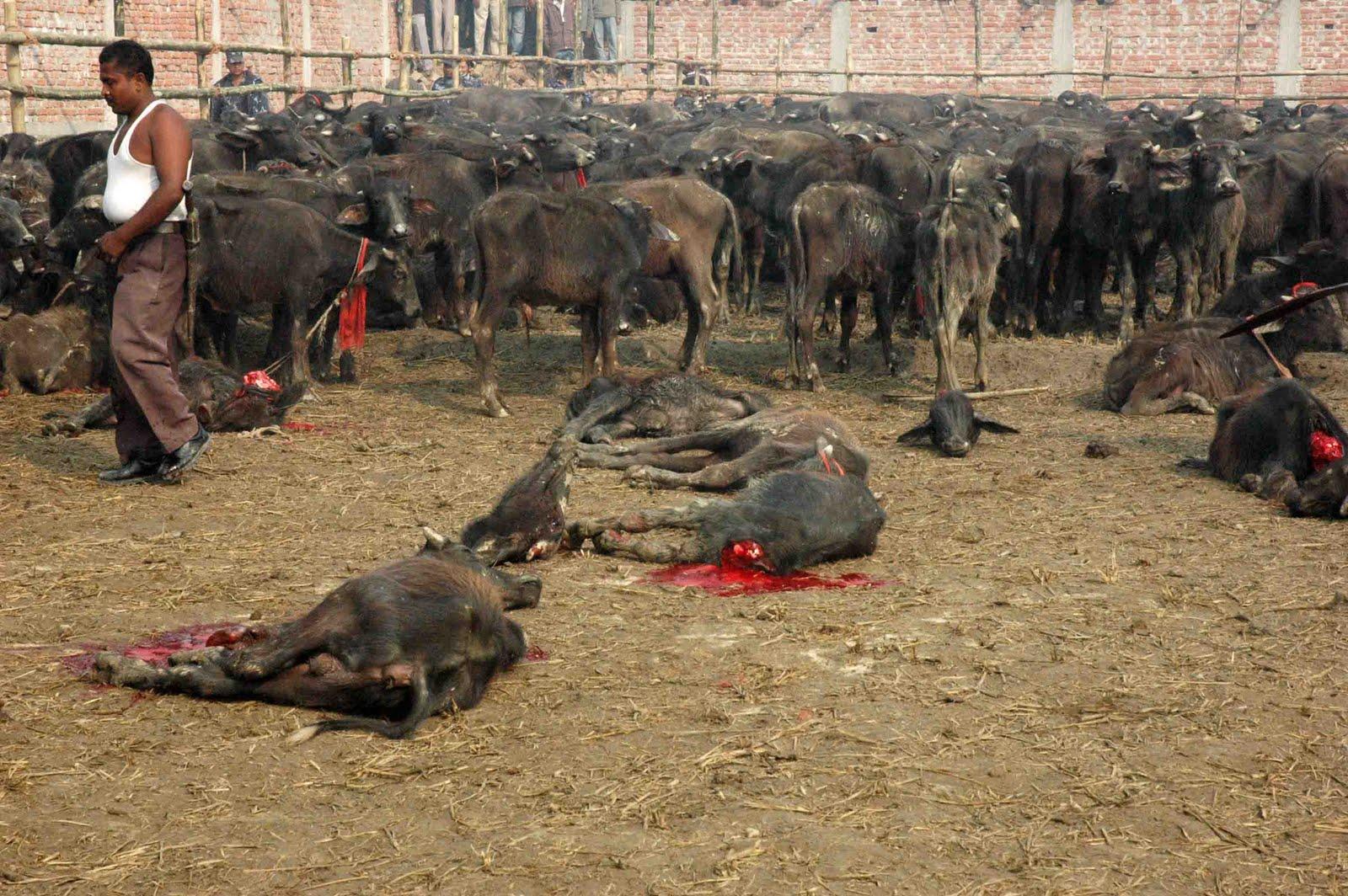 Aninimal Book: Stop the World's Largest Animal Sacrifice: November 2009